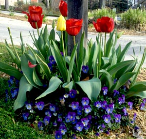 Spring Tulips Walking